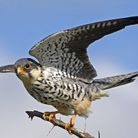 First batch of Amur Falcons arrive at Doyang in Nagaland