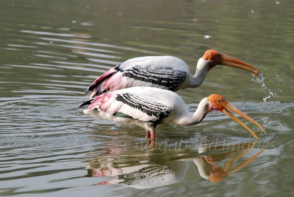Painted stork couple