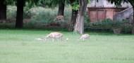 Black Bucks at Sikandara14