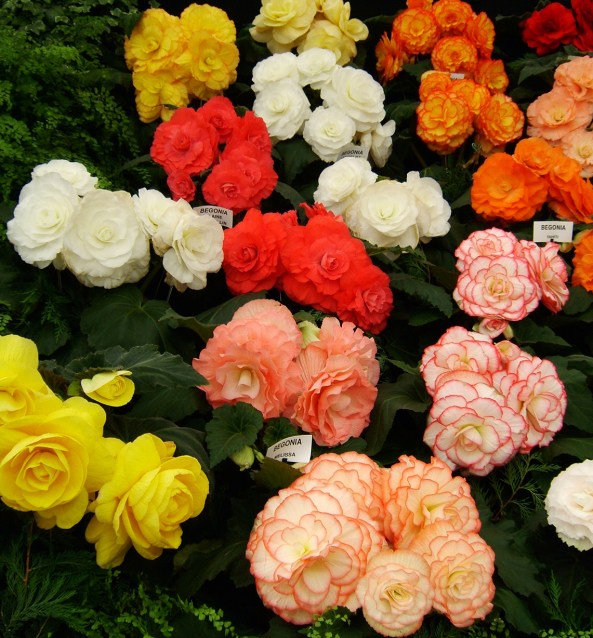 Begonia_display
