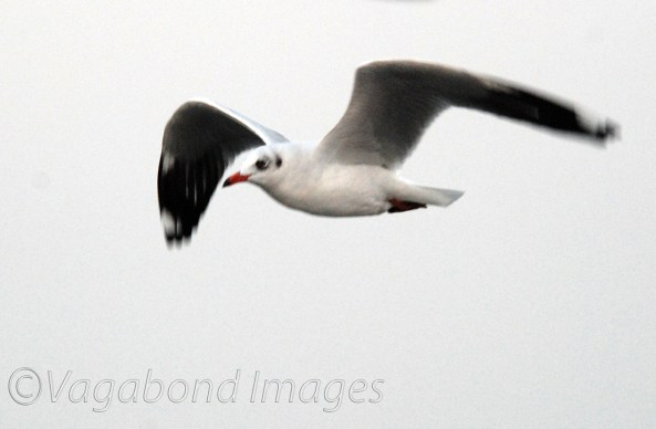 Seagull5