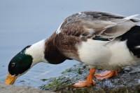 A male mallard duck searching for food in water!