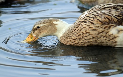 A female mallard duck is attentive even when working for food