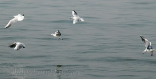 Seagull10