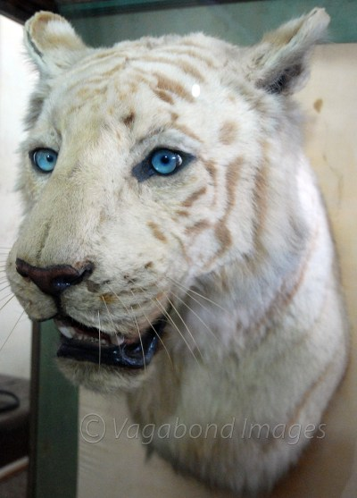 Mohan, who was cremated with full royal honours after his death in 1969, but his head was stuffed and preserved for generations to see