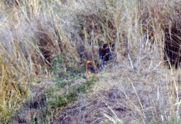 Spot the Tiger5
