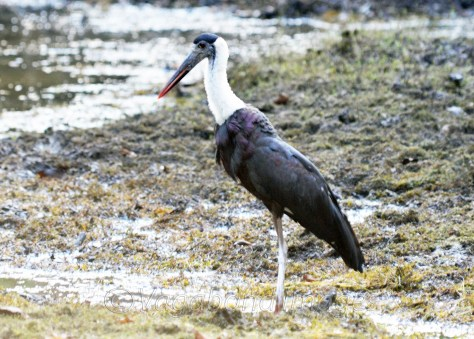 Woolly-necked stork at Panna