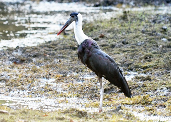 Woolly-necked stork at Panna