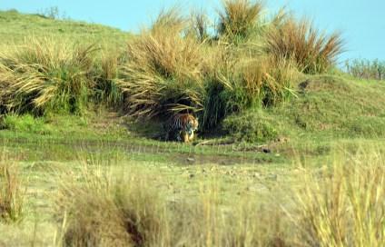 Panna Tiger8
