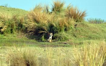 Panna Tiger9