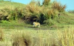 Panna Tiger11