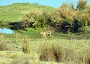 Panna Tiger12