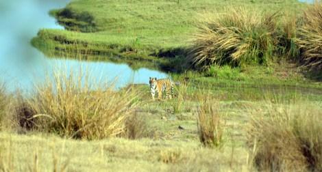 Panna Tiger13
