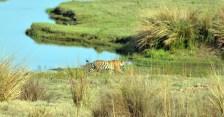 Panna Tiger27