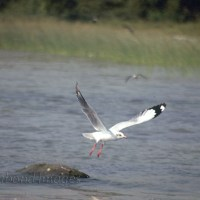 Winter play for migratory birds at Chilika