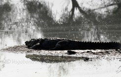 A big croc