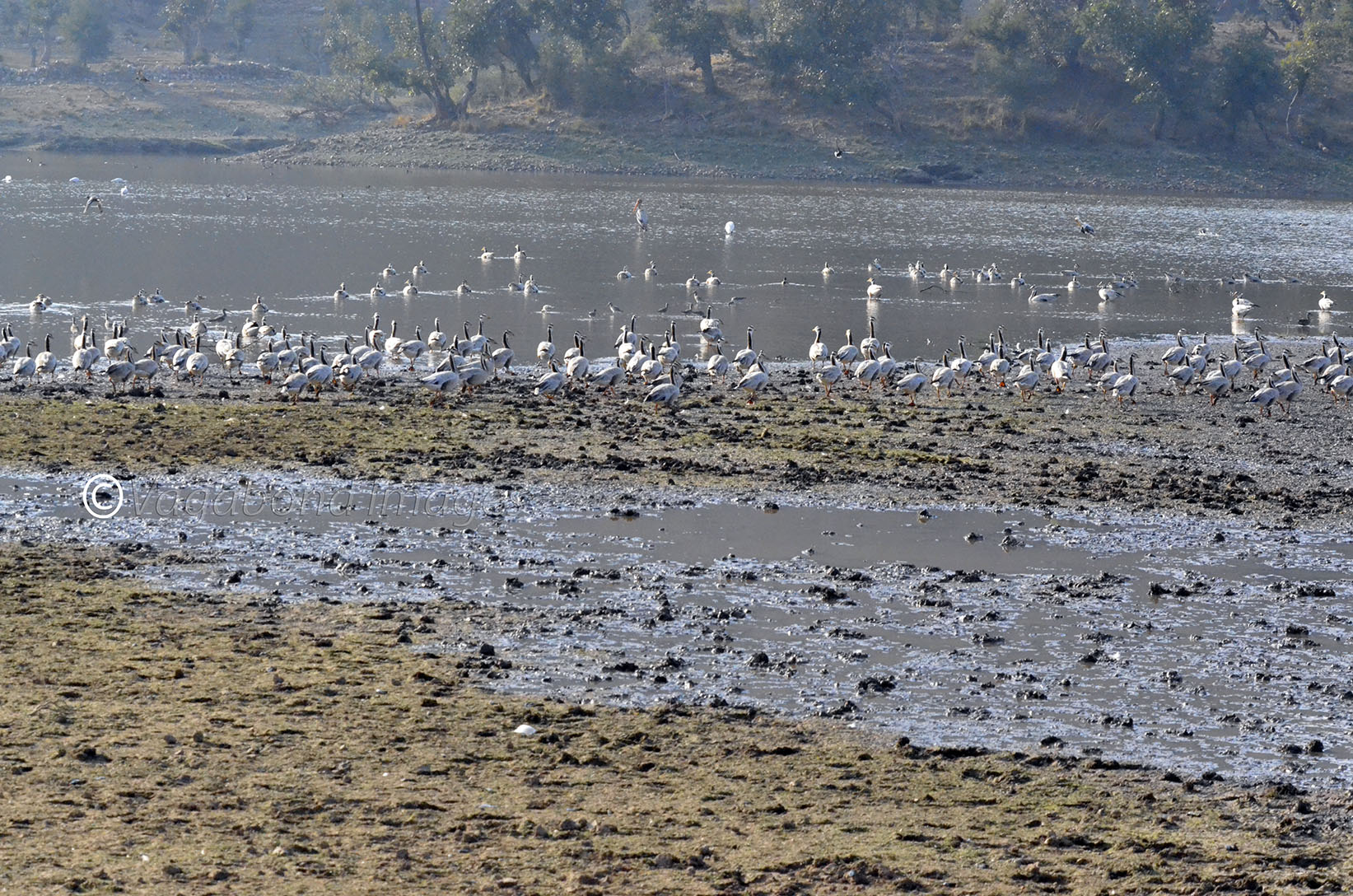 Colony of Bar Headed Goose