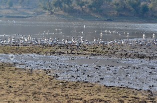 Colony of Bar Headed Goose