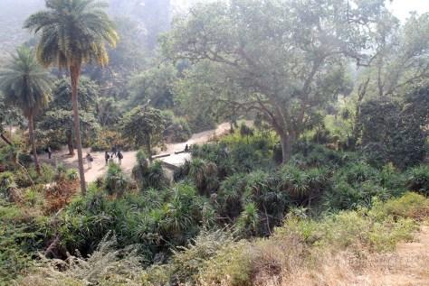 Pandanus fascicularis (Kewra)