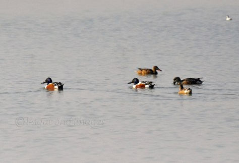 Northern shovelers and gadwalls at Sambhar lake