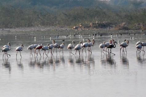 Sambhar Flamingos7