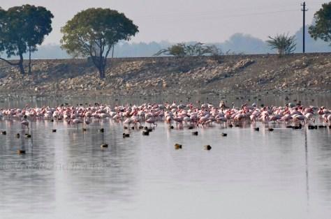 Sambhar Flamingos9