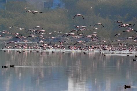 Sambhar Flamingos16