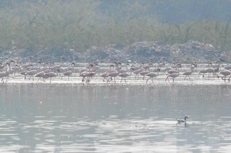 Sambhar Flamingos19