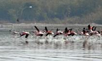 Sambhar Flamingos22