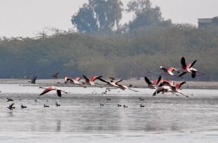 Sambhar Flamingos24
