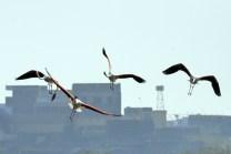 Sambhar Flamingos27