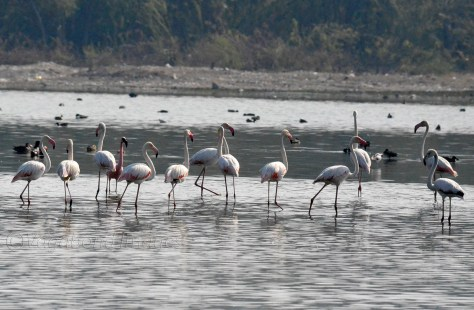 Sambhar Flamingos29