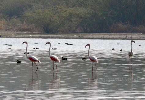 Sambhar Flamingos31