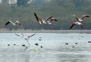 Sambhar Flamingos32