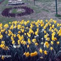 Tulips blooming! Kashmir calling!!