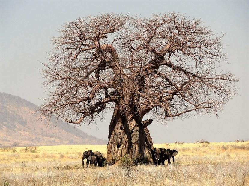 Los baobabs se mueren