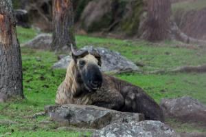 Takin, el animal nacional de Bután