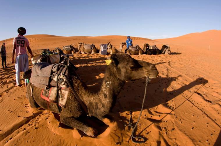 Dromedarios en el desierto de Merzouga