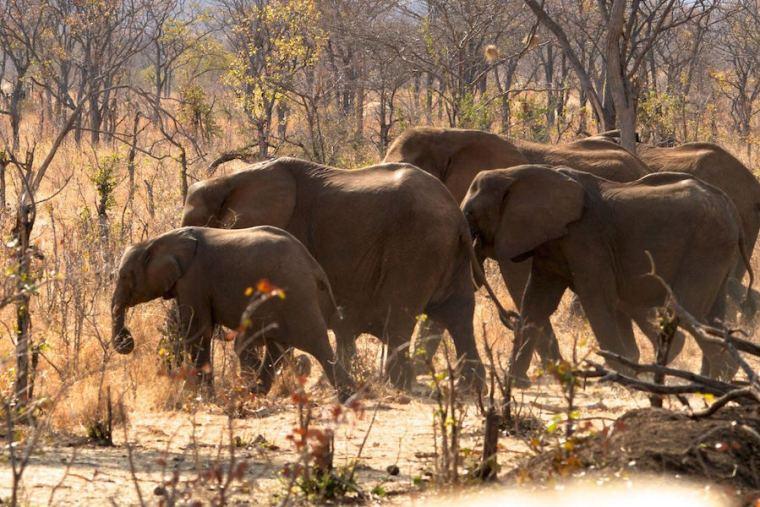 Grupo de elefantes en Zimbabue, África