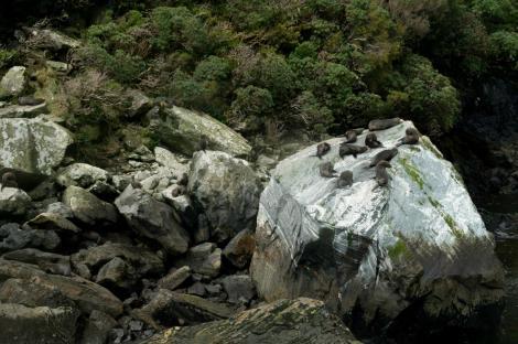 Es frecuente ver focas desde los barcos que recorren Milford Sound