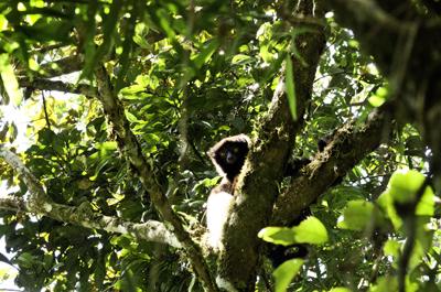 Lemur de Milne-Edwards observando a los visitantes de Ranomafana