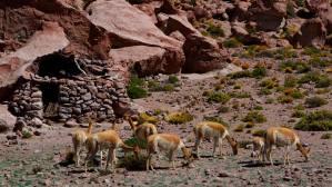 La vicuña, de la familia de los camélidos, vive en el altiplano andino, a gran altura. Su pelaje es muy denso, formado por finas fibras que crecen muy juntas y le protegen del frío, Chile