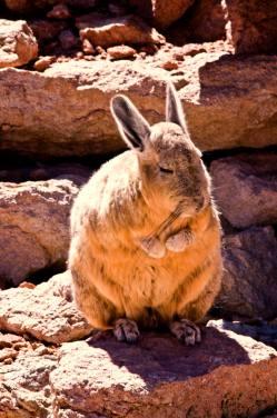 La viscacha es un roedor de color pardo verduzco, con cara de conejo y que salta como un canguro. Todo un personaje del altiplano