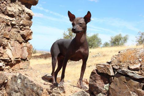 No hicimos ninguna foto de un perro peruano sin pelo, así que tomamos prestada ésta de Wikipedia