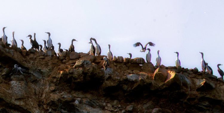 Recorriendo en barco las islas Ballestas, mires donde mires, encuentras aves marinas de distintas especies, colores y tamaños