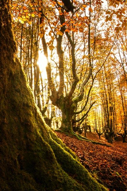 La luz se filtra entre las ramas y hojas de las hayas dando al bosque una luz casi onírica