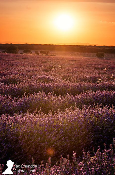 La hora dorada con el sol cayendo sobre los campos de lavanda