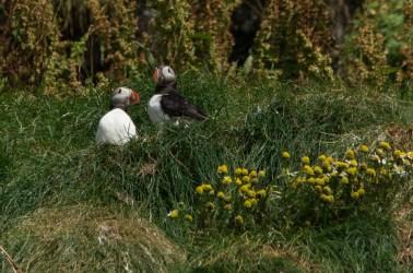 Los frailecillos pueden verse en las costas y acantilados de Islandia entre abril y agosto