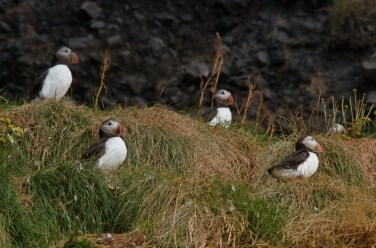 Los últimos frailecillos que quedaban en Islandia a principios de septiembre