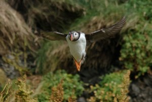 Frailecillo emprendiendo el vuelo en la playa Reynisfjara, Islandia